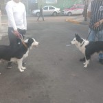Perro Border Collie Ginger