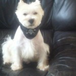 Perro West Highland White Terrier Tronet