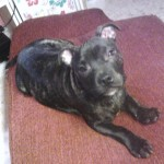 Perro Staffordshire Bull Terrier Narco
