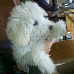 Perro Caniche Toy Dylan
