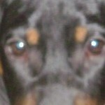 Perro Black and Tan Coonhound princexa