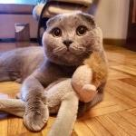 Gato Scottish Fold Bruno