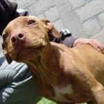 Perro American Pit Bull Terrier canela