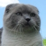 Gato Scottish Fold Kaiser