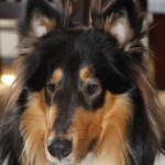 Perro Collie de Pelo Largo Spike