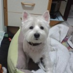 Perro West Highland White Terrier tachuela