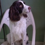 Perro English Springer Spaniel tobi