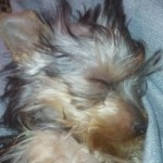 Perro Yorkshire Terrier Rocky