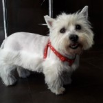 Perro West Highland White Terrier Chispina