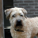 Perro Irish Soft Coated Wheaten Terrier pipo