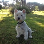 Perro West Highland White Terrier Trufa
