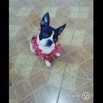 Perro Boston Terrier Britany