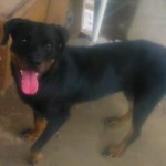 Perro Rottweiler Thania