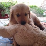 Perro Golden Retriever Rocco