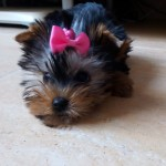 Perro Yorkshire Terrier Saoirse