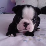 Perro Boston Terrier braandy