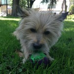 Perro Cairn Terrier Cuky