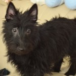 Perro Scottish Terrier Whoopie