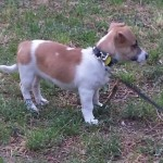 Perro Jack Russell Terrier Canelo
