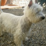 Perro West Highland White Terrier Lluna