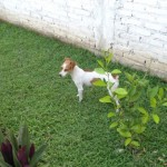 Perro Fox Terrier Toy Bellota
