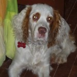 Perro English Springer Spaniel Niebla