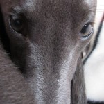 Perro Whippet Ares