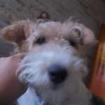 Perro Fox Terrier Toy mariilyn