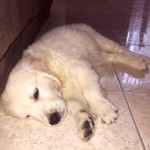 Perro Golden Retriever Paloma