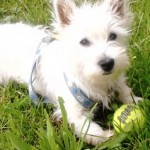 Perro West Highland White Terrier Hachi