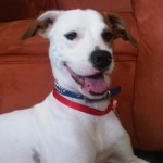 Perro Parson Russell Terrier Jacky