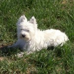 Perro West Highland White Terrier Zara