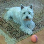 Perro West Highland White Terrier Rooney