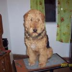 Perro Airedale Terrier byron