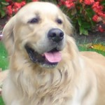 Perro Golden Retriever Ralph