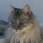 Gato Maine Coon enanito