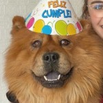 Perro Chow Chow Sultan