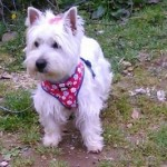 Perro West Highland White Terrier Jacky