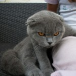 Gato Scottish Fold carla