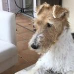 Perro Fox Terrier de Pelo Duro Wally