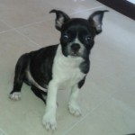 Perro Boston Terrier Teo