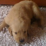 Perro Golden Retriever Eros