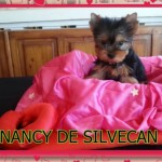 Perro Yorkshire Terrier Nancy