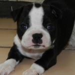 Perro Boston Terrier Tinah
