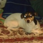 Perro Parson Russell Terrier fredy