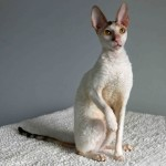 Gato Cornish Rex Virginia