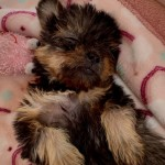 Perro Yorkshire Terrier Alanna