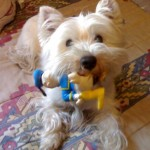 Perro West Highland White Terrier Lua
