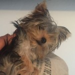 Perro Yorkshire Terrier Puppy