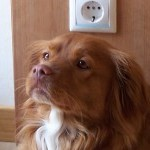 Perro Nova Scotia Duck Tolling Retriever thor